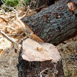 Holzeinschlag im Winter